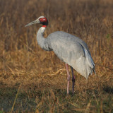Sarus crane (grus antiogone), Bharatpur, India, December 2009