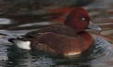 Ferruginous duck (aythya nyroca), Morges, Switzerland, November 2010