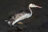 Great crested grebe (podiceps cristatus), Morges, Switzerland, December 2010