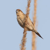 Indian silverbill or white-throated munia (euodice malabarica),  Bharatpur, India, December 2009