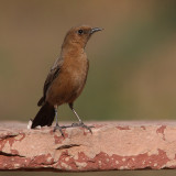 Brown rock chat or indian chat (cercomela fusca), Bund Baretha, India, December 2009