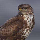 Accipitridae IV (Buzzards and honey buzzards)