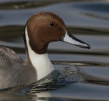 Northern pintail (anas acuta), Morges, Switzerland, February 2011
