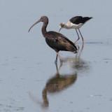 Glossy ibis (plegadis falcinellus), Dehesa de Abajo, Spain, August 2012