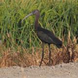 Glossy ibis (plegadis falcinellus), Doñana, Spain, August 2012