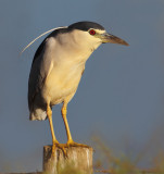 Black-crowned night heron (nycticorax nycticorax), Dehesa de Abajo, Spain, August 2012