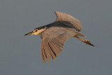 Black-crowned night heron (nycticorax nycticorax), Dehesa de Abajo, Spain, September 2012