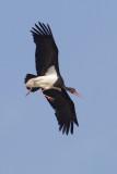 Black stork (ciconia nigra), Doñana, Spain, September 2012