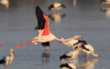 Greater flamingo (phoenicopterus roseus), Dehesa de Abajo, Spain, September 2012