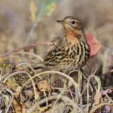 Red-throated pipit (anthus cervinus), Cuarnens, Switzerland, October 2012