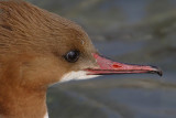 Goosander (mergus merganser), Vidy, Switzerland, February 2008