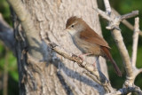 Cetti's warber, Plakias, Crete, May 2008