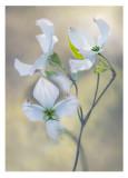 Dogwood blooms.jpg