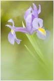 Iris .jpg