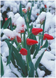 Tulips in snow .jpg