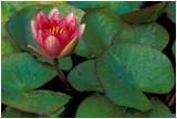 Waterlily 3 .jpg