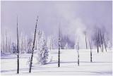 Pine trunks in winter.jpg