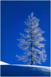 Frozen Pine.jpg