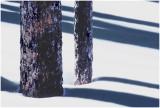Trunks and shadows.jpg