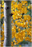 Aspen with yellow leaves.jpg