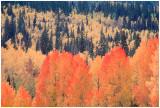 Aspens Dixie Nat. Forest.jpg