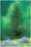Evergreen and  lupine.jpg