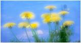 Dandelions .jpg