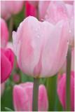 Pink tulip_Longwood Gardens.jpg