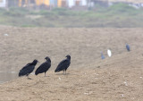 three turkey vultures discussing dinner ..