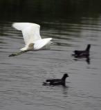 egret-flying01.jpg