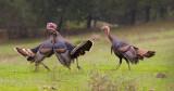 turkey tustle