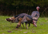 Wild turkey neck wrestling