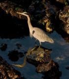 Great Blue Heron in Tide Pools