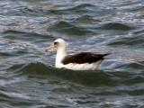 Laysan Albatros