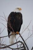 Bald Eagle at Lower Klamath Lake