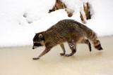 Racoon on  ice