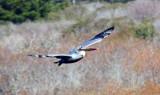 Pelicans (Pelecaniformes)