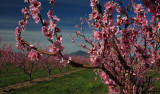 Blossom-Diablo-2.