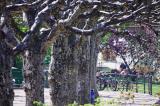 Plane tree avenue