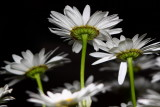 Daisies At Night