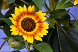 Englewood Sunflowers