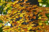 Golden Leaves In Hamlin Park