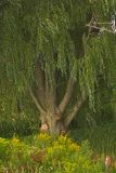 The Old Weeping Willow