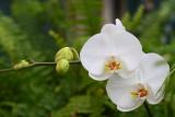 More Phalaenopsis