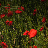 in a poppy world