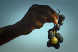 grapes are ripe