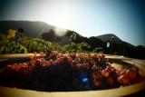 grape harvest at Mas des Chimères
