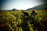 grape harvest by hand