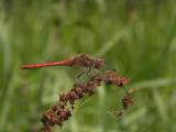 Vagrant Darter - Sympetrum vulgatum - Steenrode heidelibel