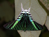 South-American Moths